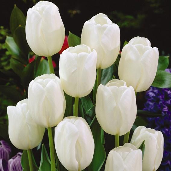 Tulip Bulbs -  White Dream