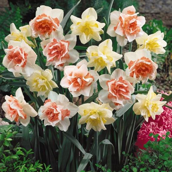 Daffodil Bulbs - Double Duo