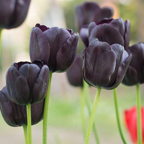 Tulip Black Satin