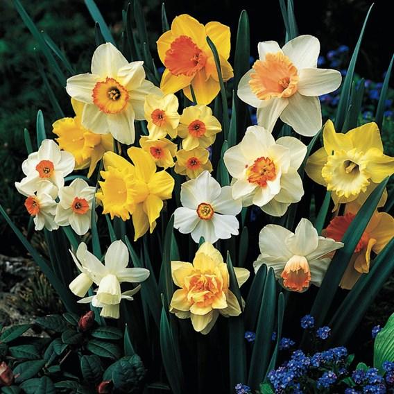 Daffodil Sunshine Mix