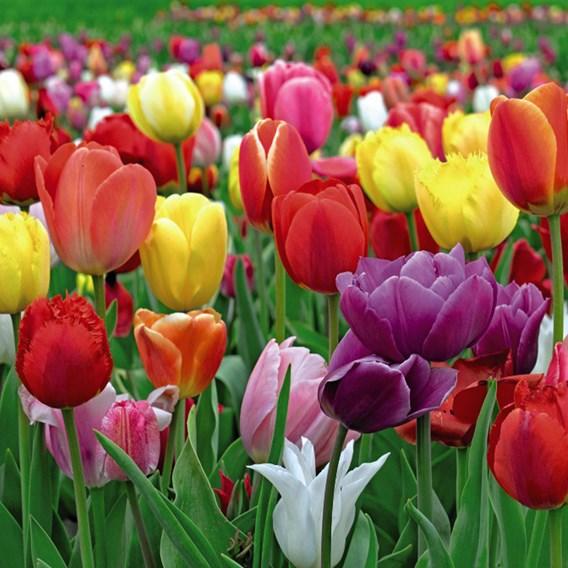 Tulip Bulbs - Value Majestic Mix
