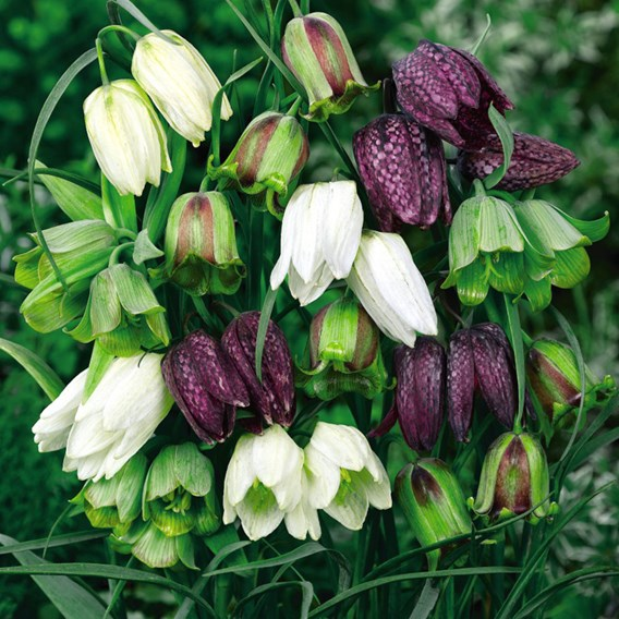 Fritillaria Bulbs - Spring Bells