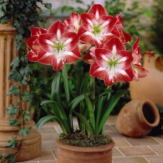 Amaryllis Minerva 1 Bulb