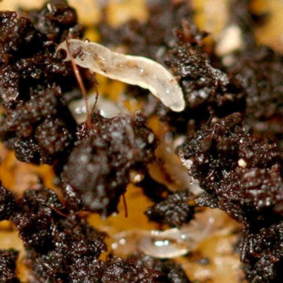 Fungus Fly Killer 50 Million