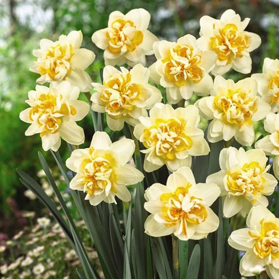 Daffodil Bulb -  Peach Cobbler