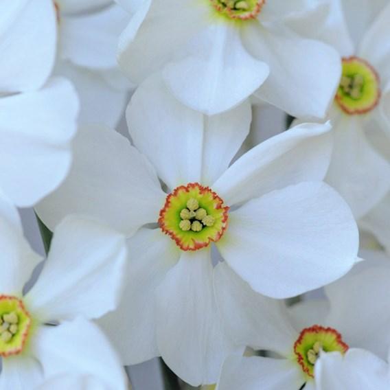 Daffodil Sagana