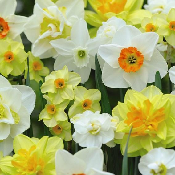 Daffodil Value Mixed Bulbs