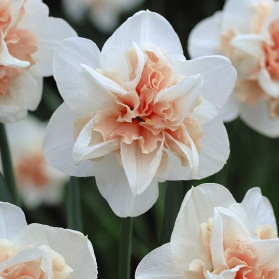 Daffodil Replete Improved