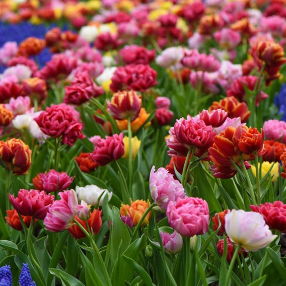Tulip Bulbs -  Murillo Mixed
