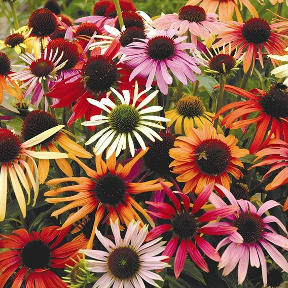Echinacea Primadonna Mixed 15 Garden Ready Plants