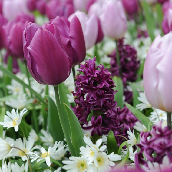 Tulip, Hyacinth and Anemone Collection 30 Bulbs