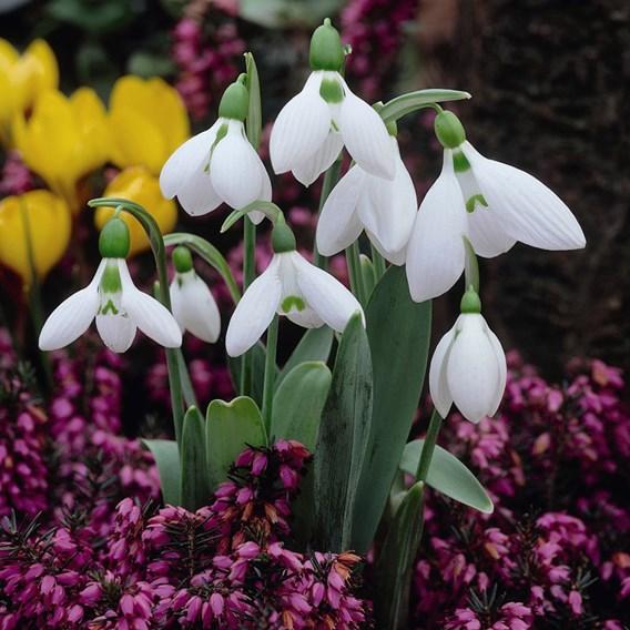 Snowdrop Giant Galanthus Elwesii