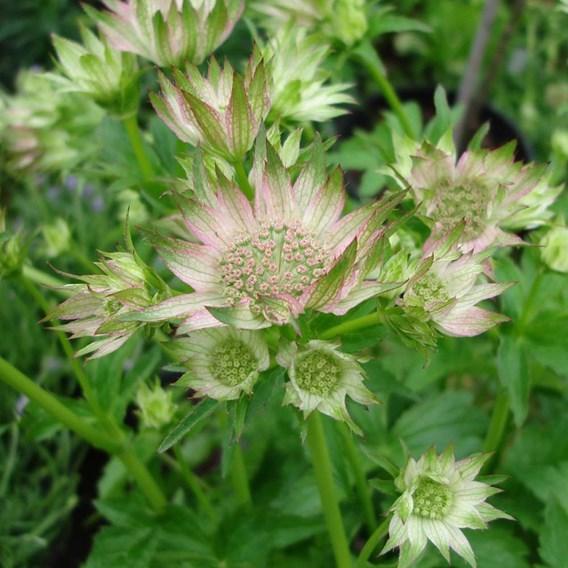 Astrantia Plants - Florence