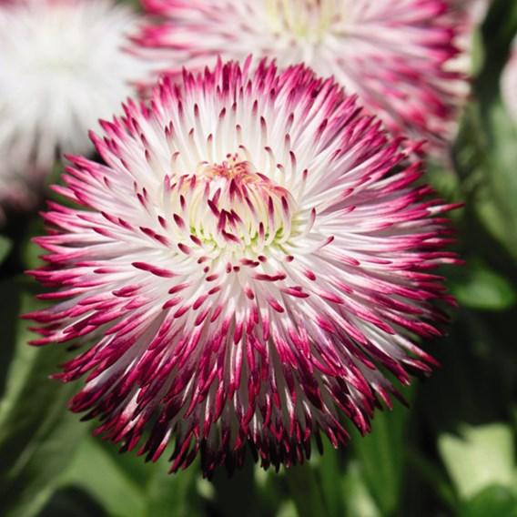 Bellis Plants -  Pomponette Bicolour