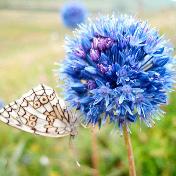 Allium Blue Drumstick