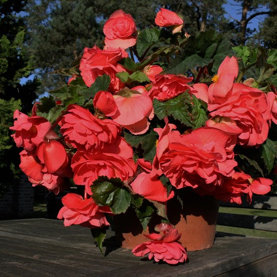 Begonia Tubers - Scented Pink(5)