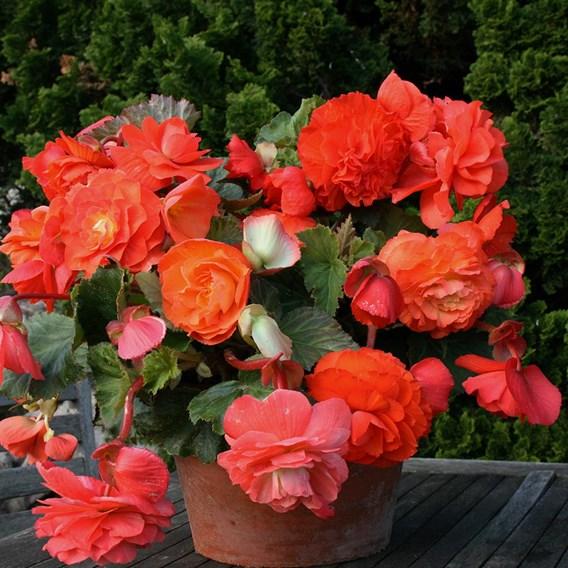 Begonia Tubers - Scented Orange(5)