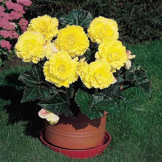 Begonia Tubers - Prima Donna Yellow