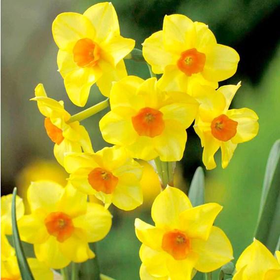 Daffodil Bulbs -  Jonquilla Martinette