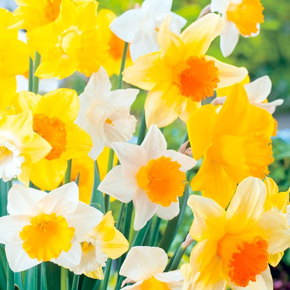 Daffodil Bulbs - Large Cup Mix