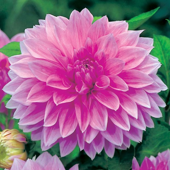 Dahlia Decorative Lavender Perfection 2
