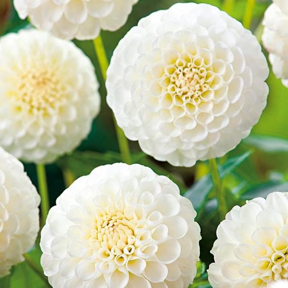 Dahlia Pompon  Snowflake 2