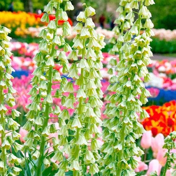 Fritillaria Bulb - Ivory Bells