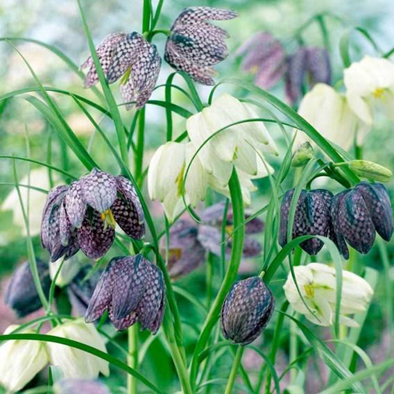 Fritillaria Bulbs - Meleagris