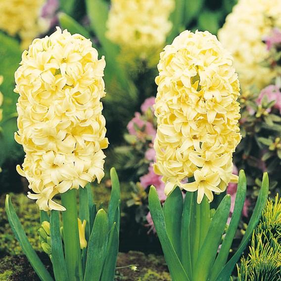 Hyacinth Bulbs - City of Haarlem