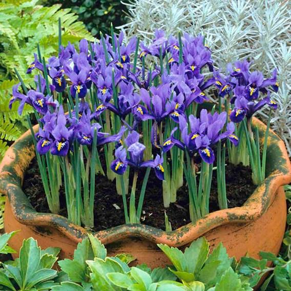 Iris reticulata Bulbs - Harmony