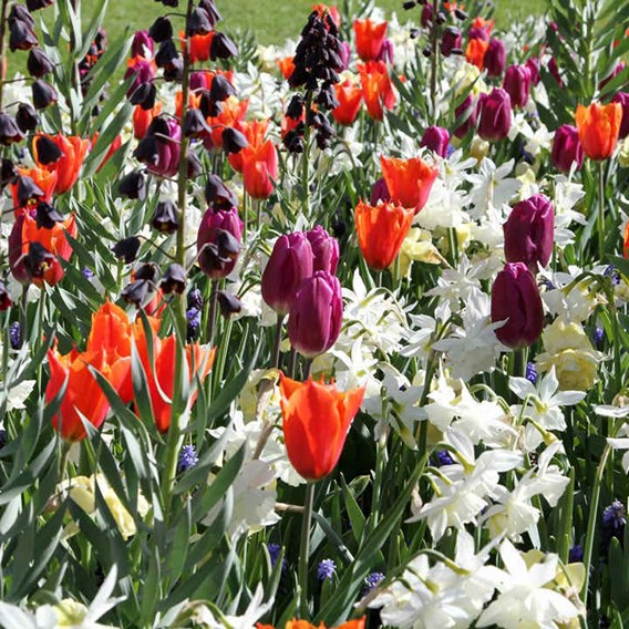 Fresh Spring Bulbs - Mix(20)