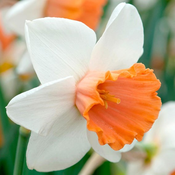 Daffodil Bulbs - Chromacolor