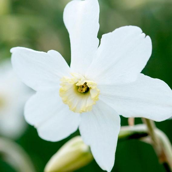 Narcissus Polar Ice