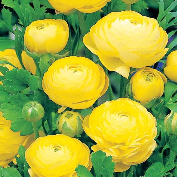 Ranunculus Bulbs - Yellow