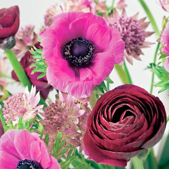 Ranunculus  Pauline Violet 10