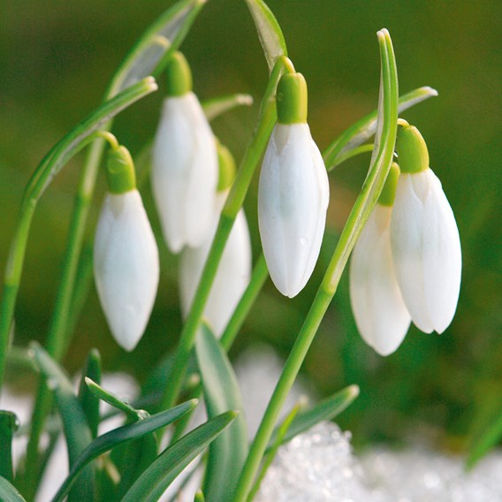 Snowdrop Bulbs - Common (20)