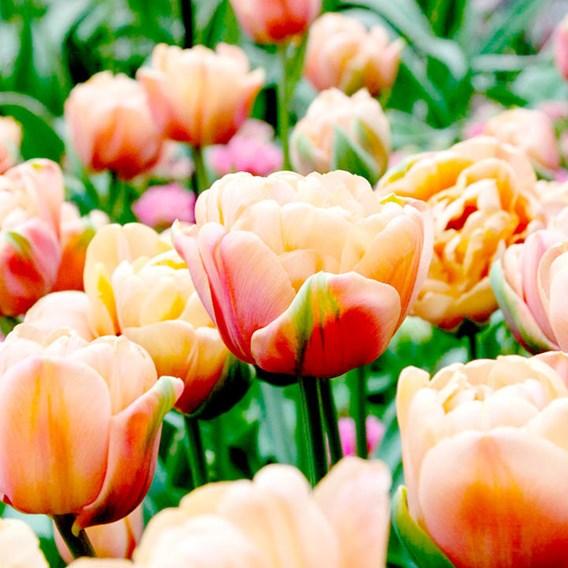 Tulip Belle Epoque (10)
