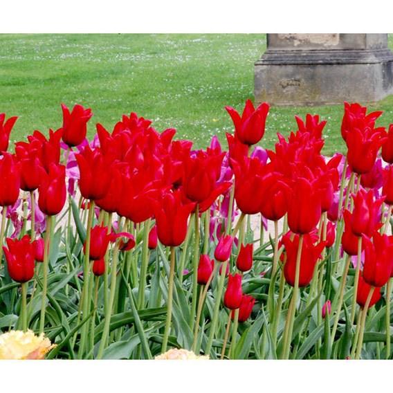 Tulip Lily Mid Pieter De Leur (10)