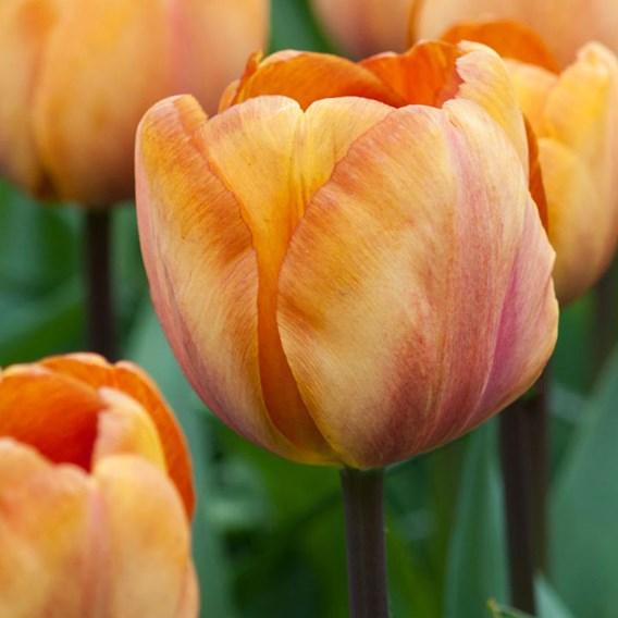 Tulip Single Triumph Late - Brown Sugar(10)