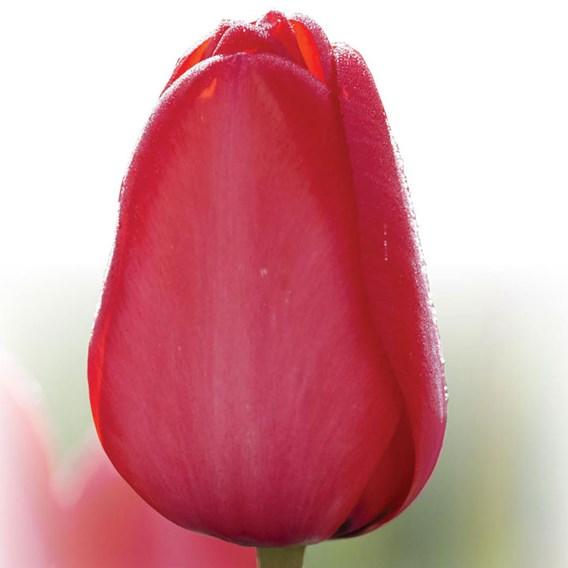 TulipBulbs -  Red Impression