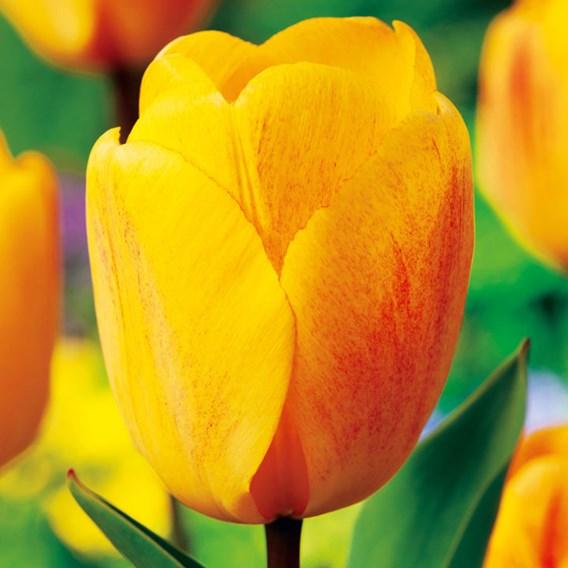 Tulip Darwin Hybrid Golden Apeldoorn