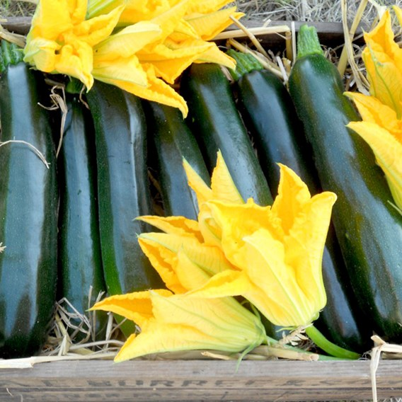 Courgette Seeds - British Summertime F1