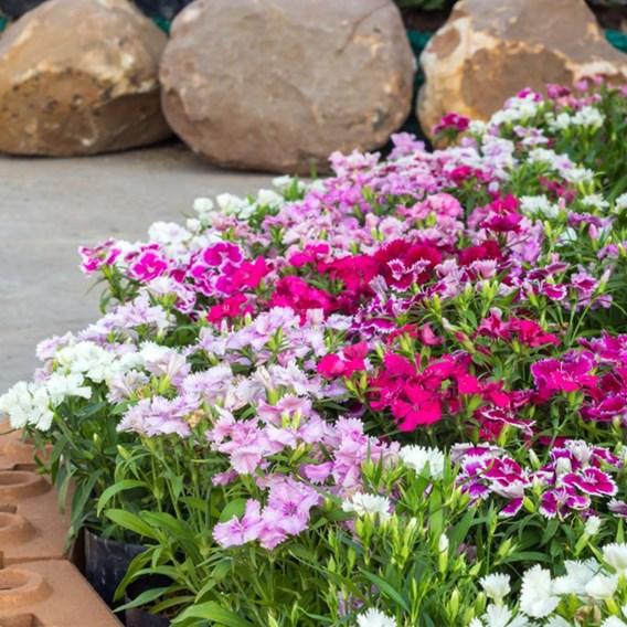 Sweet William Plants - Mixed