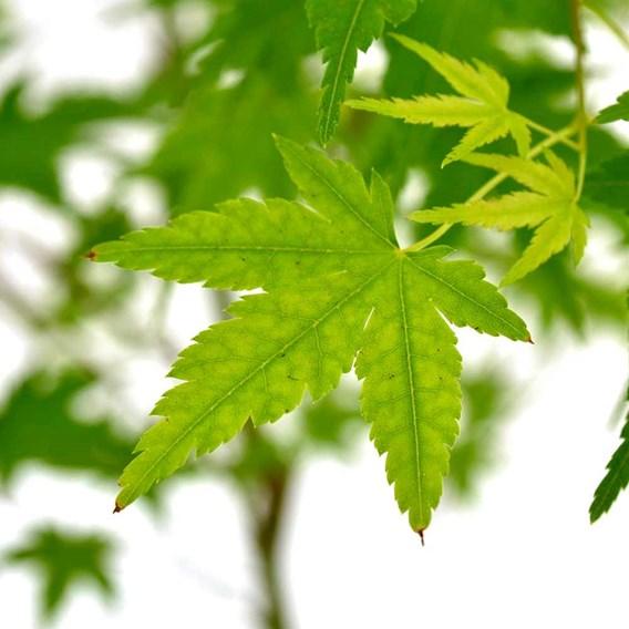 Acer Palmatum Ryusen