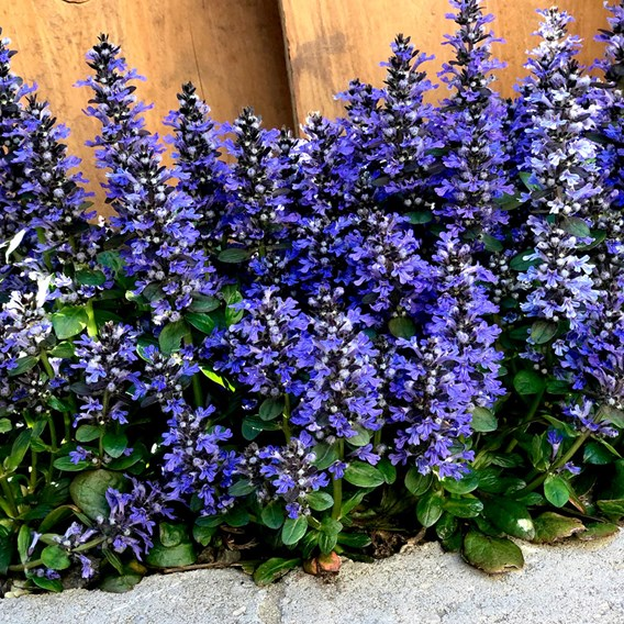 Ajuga rep.Plants - Blueberry Muffin