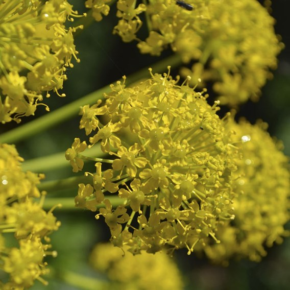Allium Seeds - Yellow Allium