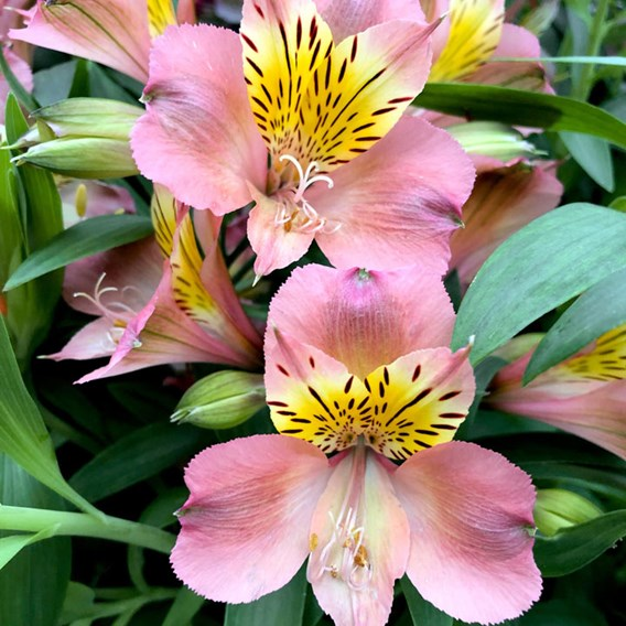 Alstroemeria Summer Break