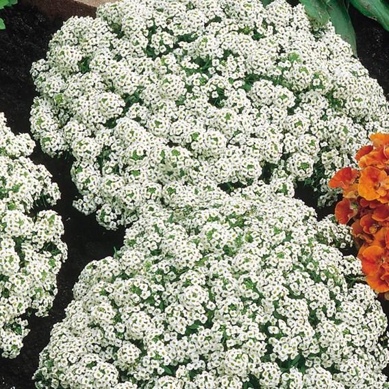 Alyssum Seeds - Carpet Of Snow