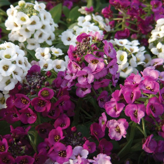 Alyssum Plants - Clear Crystal Mixed