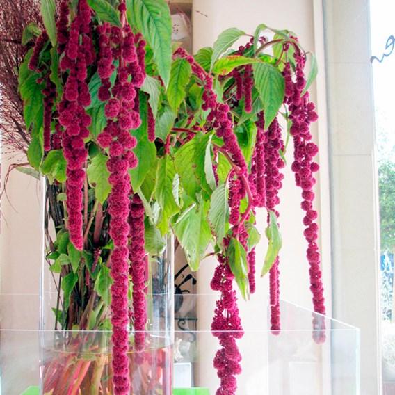 Amaranthus Crimson Fountains Mix